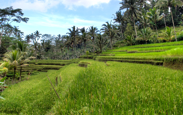 Rice terraces at Gunung Kawi, Bali, Indonesia