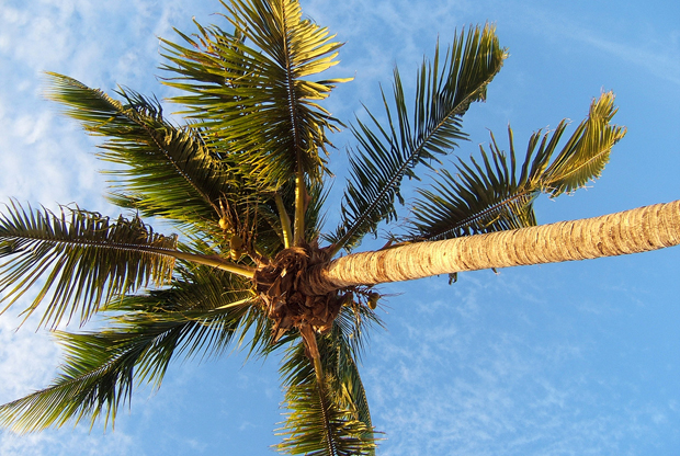 Palm tree in the Cayman Islands in the Carribean