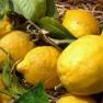 Lemons in Sorrento, Bay of Naples, Italy