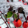 Red berries in the snow in winter in Herefordshire