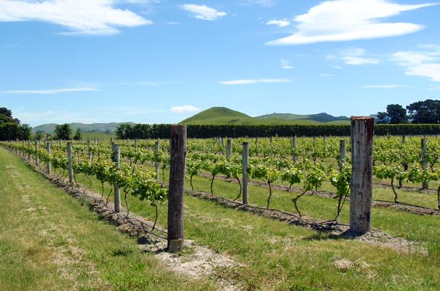 Vineyards in Napier, New Zealand